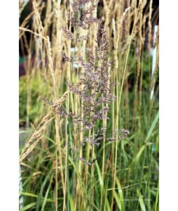 Calamagrostis a. Karl Foerster