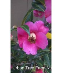 Camellia hybrid 'Golden Spangles'