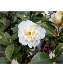 Camellia hybrid 'Jury's Yellow'