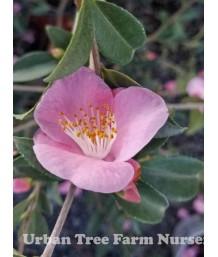 Camellia hybrid 'Minato-No-Haru'