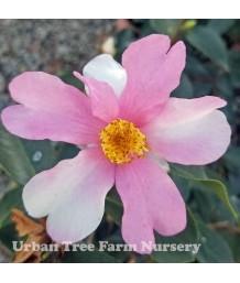 Camellia hybrid 'Yume'