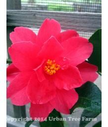 Camellia hybrid 'Freedom Bell' TRELLIS