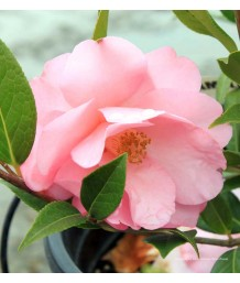 Camellia hybrid 'Taylor's Perfection'