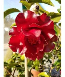 Camellia j. Black Magic