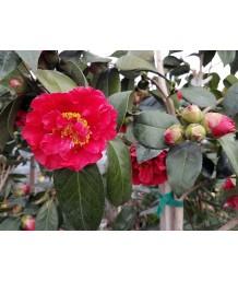 Camellia j. Bob Hope