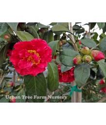 Camellia japonica 'Bob Hope' STD