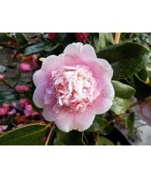 Camellia japonica 'Chandleri Elegant'