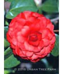 Camellia j. Colonel Fiery