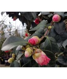 Camellia j. Covina