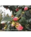 Camellia japonica 'Covina' STD