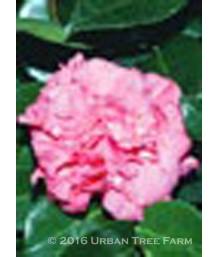 Camellia japonica 'Daikagura Variegata'