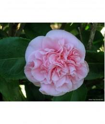 Camellia japonica 'Debutante' TRELLIS