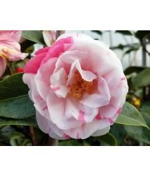 Camellia japonica 'Hanami Gasa'