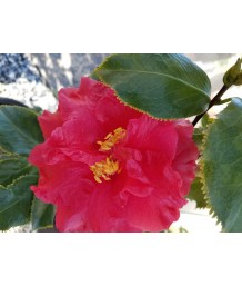 Camellia j. Holly Bright