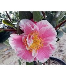 Camellia japonica 'Jordon's Pride'