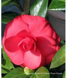 Camellia japonica 'Julia Drayton' TRELLIS