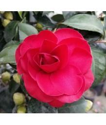 Camellia j. Kramer's Supreme
