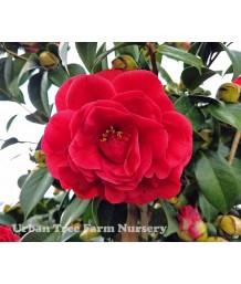 Camellia japonica 'Kramer's Supreme' STD