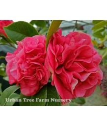 Camellia japonica 'Kramer's Supreme' TRELLIS