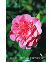 Camellia japonica 'Marie Bracie'