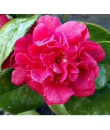 Camellia japonica 'Mrs. Charles Cobb'