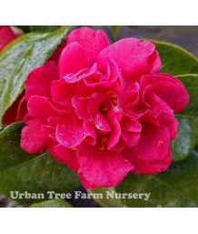 Camellia japonica 'Mrs. Charles Cobb' TRELLIS