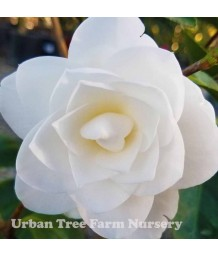 Camellia japonica 'Nuccio's GEM' STD