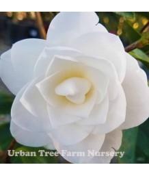 Camellia japonica 'Nuccio's GEM' TRELLIS