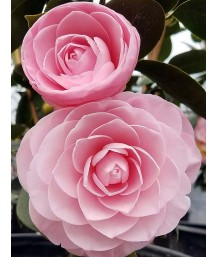 Camellia j. Pearl Maxwell