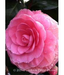 Camellia japonica 'Pink Parade'