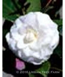 Camellia japonica 'Purity'