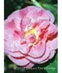 Camellia j. Scentsation