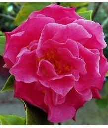 Camellia j. Spellbound