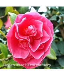 Camellia japonica 'Spellbound' TRELLIS