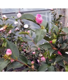 Camellia japonica 'Sweet Jane'