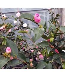 Camellia j. Sweet Jane