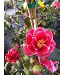 Camellia japonica 'Tama Peacock'