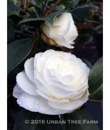 Camellia j. 'Thomas Pitts'