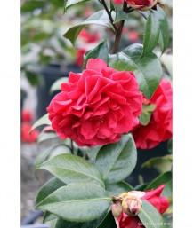 Camellia japonica 'Tom Knudsen' TRELLIS