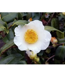 Camellia japonica 'White Mermaid'