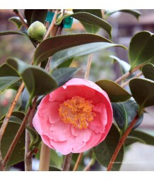 Camellia japonica 'Hana-fuki'