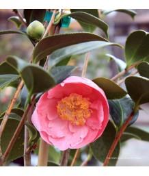 Camellia j. Hanafuki