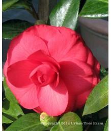 Camellia j. 'Julia Drayton'