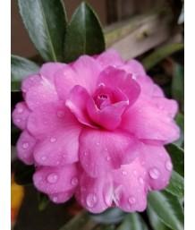 Camellia sasanqua 'Chansonette'