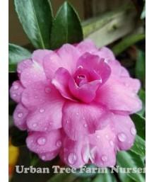 Camellia sasanqua 'Chansonette' TRELLIS