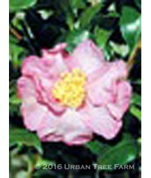 Camellia sasanqua 'Cleopatra'