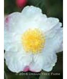 Camellia sasanqua 'Hana-Jima'