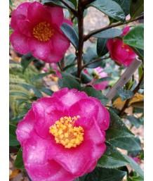Camellia s. Kanjiro