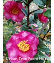 Camellia sasanqua 'Kanjiro' STD