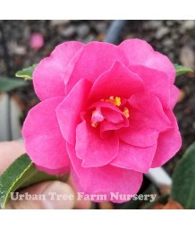 Camellia sasanqua 'Shishi Gashira' STD